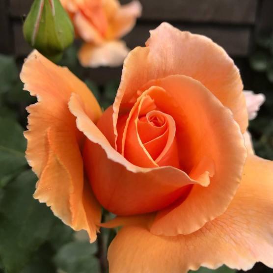 Ros orange