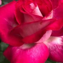 Ros röd